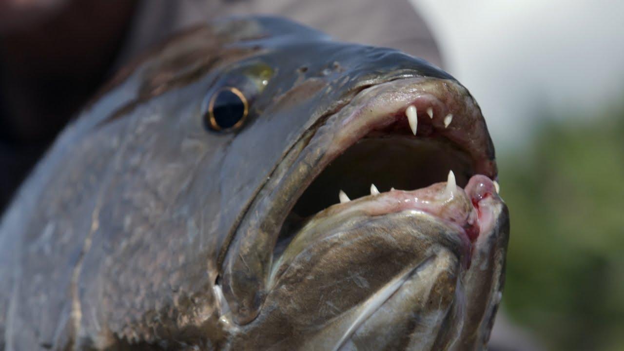 Mongillo fish