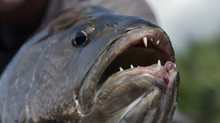 This Toothy Monster Has Been Terrorizing People In Papua New Guinea thumbnail