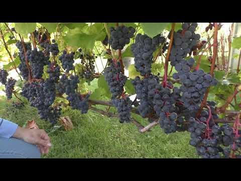 Лучшие винные сорта винограда Урожай 2019 года