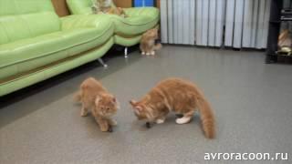 Котята мейн куны против тараканов