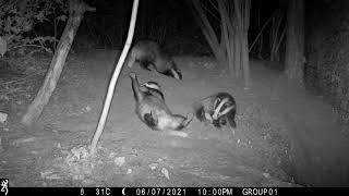 Year old Berkshire badger scent marked by 2 other badgers in one go