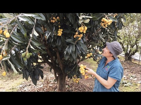 Grafted Loquat Nagasakiwase - How we got our best crop ( Fruits in the Spring )