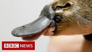 World's first platypus refuge - BBC News