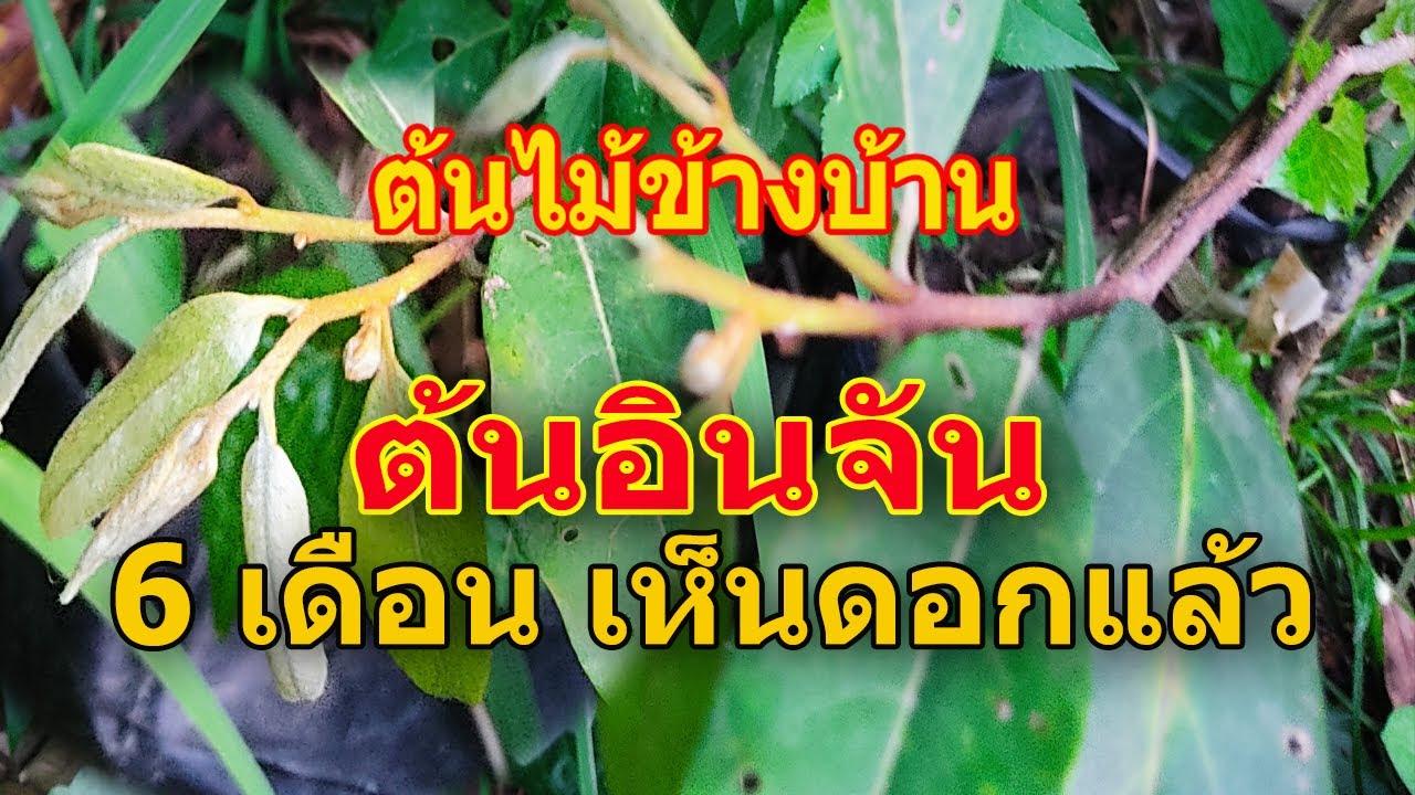 ต้นไม้ข้างบ้าน... ตอน ต้นอินจันกิ่งทาบ ที่ซื้อมาออกดอกแล้วจ้า  / เกษตรอินทรีย์
