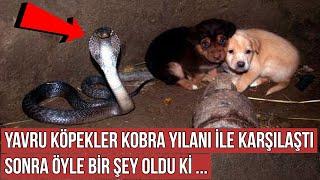 Yavru Köpekler İçinde Kral Kobra Yılanı Olan Bu Kuyuya Düştü, Sonra Öyle Bir Şey Oldu ki