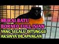 Murai Borneo  Istimewa Yang Ditunggu Aksi Tempurnya Dan Membuat Penonton Melonggo Kicau Mania  Mp3 - Mp4 Download