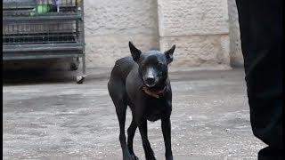 الكلبة-لوسي-سننتج-منها-جراء-ذكية-مهجنه-على-البول-ترير-و-سنسميهم-ميني-بول-ترير-مع-جمال-العمواسي