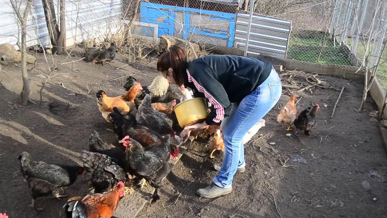 КУРЫ несушки. Чем кормить кур. Наши условия для содержания кур