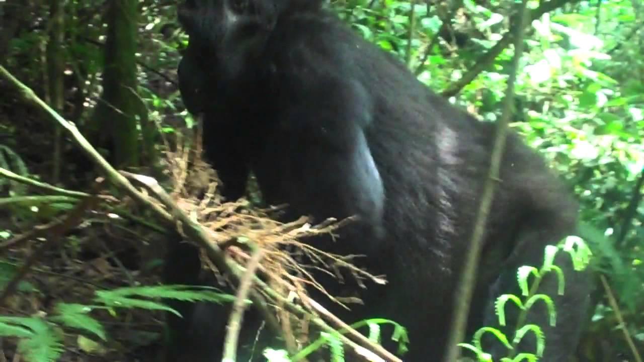 Gorilla Trekking in Uganda - Churchill Tailored Safaris