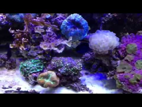 Be careful adding Angelfish to reef tanks!