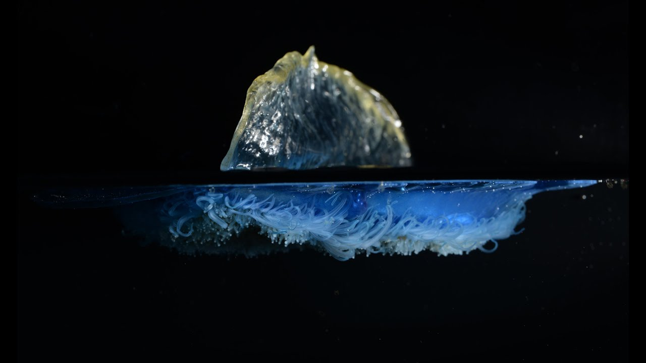 The Secret Life Of Velella Adrift With The By The Wind