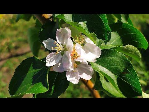 ЯБЛОНЯ ЗАЦВЕЛА В АВГУСТЕ! Цветение плодовых деревьев осенью!