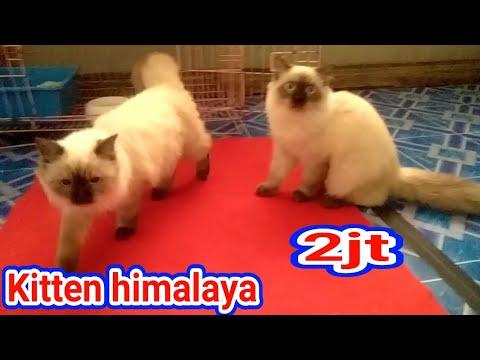 Jenis Kucing Persia Himalaya—Siapanya Kucing Siam??.