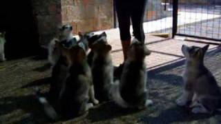 Alaskan Malamute Puppies - Clicker Training
