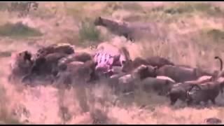 ライオン VS ハイエナ 動物の乱闘 戦いの結末はいかに?