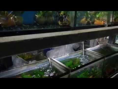fish beautiful market ตลาดปลาสวยงามบ้านโป่ง