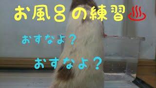 ラットも、1歳1ヶ月が過ぎました(^^) そろそろ老後に備えてお風呂の練習...