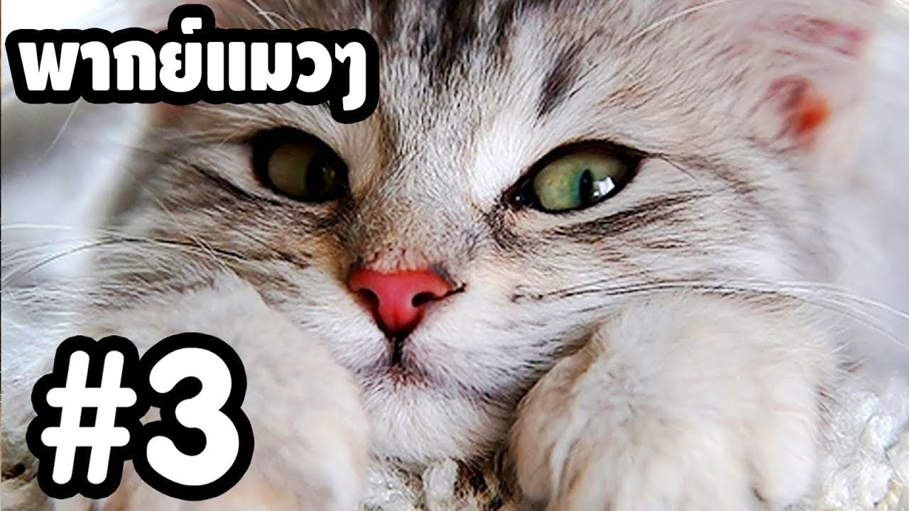 พากย์แมวๆ เดอะ ซีรี่ย์ - Season 1 Ep.3「นายหัวฟ้า」 ตลกฮาเกรียน