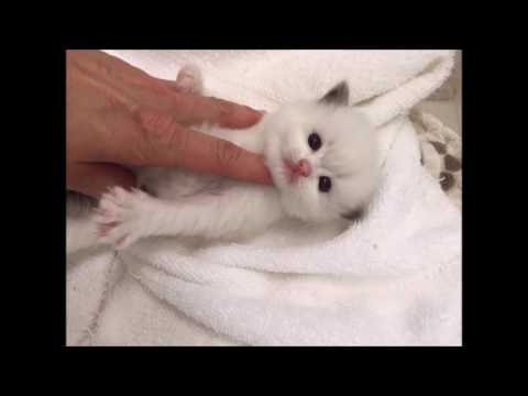 Our New Baby Soulmate Ragdoll Kitten-Rosey 3 weeks 2 days old
