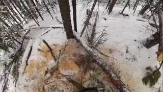 GOPR0 falling Pine trees. SIlviculture work.