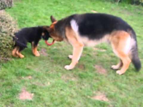 Crazed German Shepherd Attack.AVI - YouTube