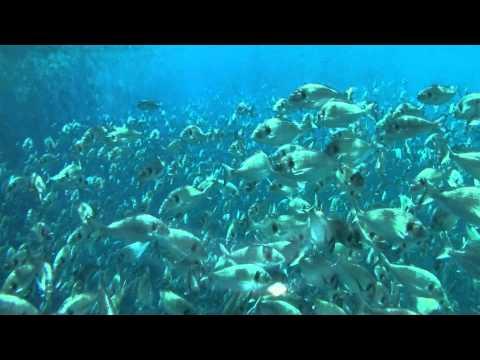 Levantina Fish - Mediterranean Sea Bream