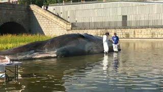 Uma baleia no meio de Madrid
