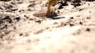 Стрекоза(последняя линька стрекозы., 2011-07-03T12:19:36.000Z)