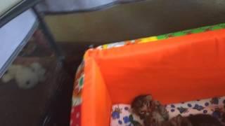 Новорожденные котята Саванна и дети