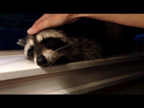 Petting A Friendly Wild Raccoon To Sleep