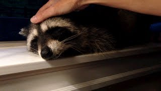 Petting A Friendly Wild Raccoon To Sleep