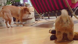 My necc my bacc why dey do me disrespecc ~ Shiro / Shiba Inu puppies