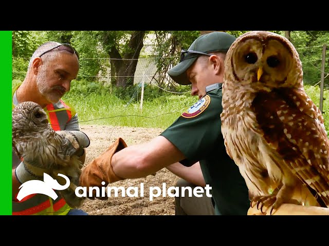 Owl Needs Rehab After Getting Its Leg Stuck | North Woods Law