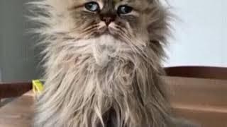 Лохматый кот ставь лайк