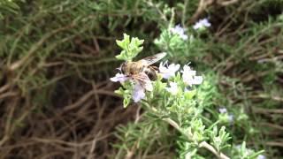 ミツバチさんと明日葉の花 http://youtu.be/Y215uOjxLxQ 蜜蜂とレモンタ...