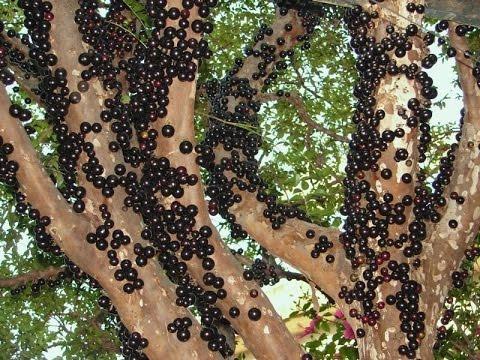 Жаботикаба (Джаботикаба) Бразильское дерево, у которого растут плоды на стволе дерева