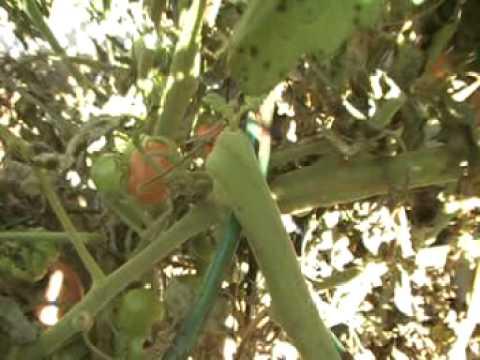 Harvesting indeterminate Tomatoes..
