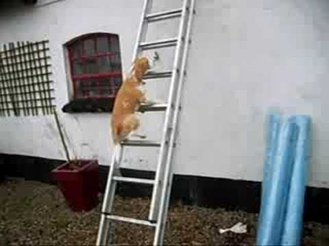 Beagle Climbing Ladder Youtube