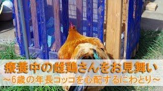 """2016年4月下旬のこと。 6歳になったばかりの名古屋コーチン雌鶏""""ぴよ美""""が体調不良です。 寝床にしている産箱から朝になっても出て来れません..."""