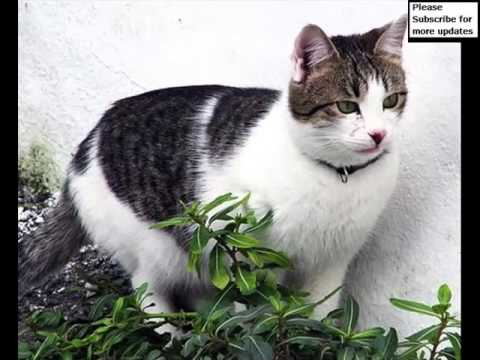 Aegean Cat | Cat Picture Collection