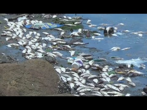 Thousands Of Dead Fish Wash Up On Rio's Olympic Shore