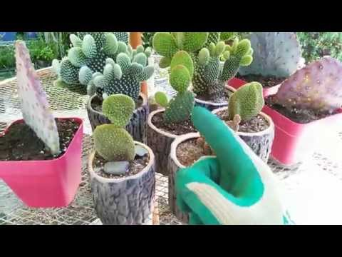 How to Grow a Cactus in a Pot