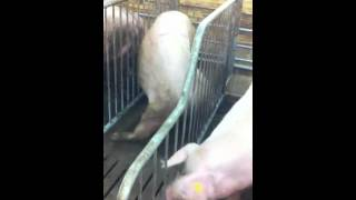 видео прикол с животными Дрессированные свиньи №3 Сальто свиньи