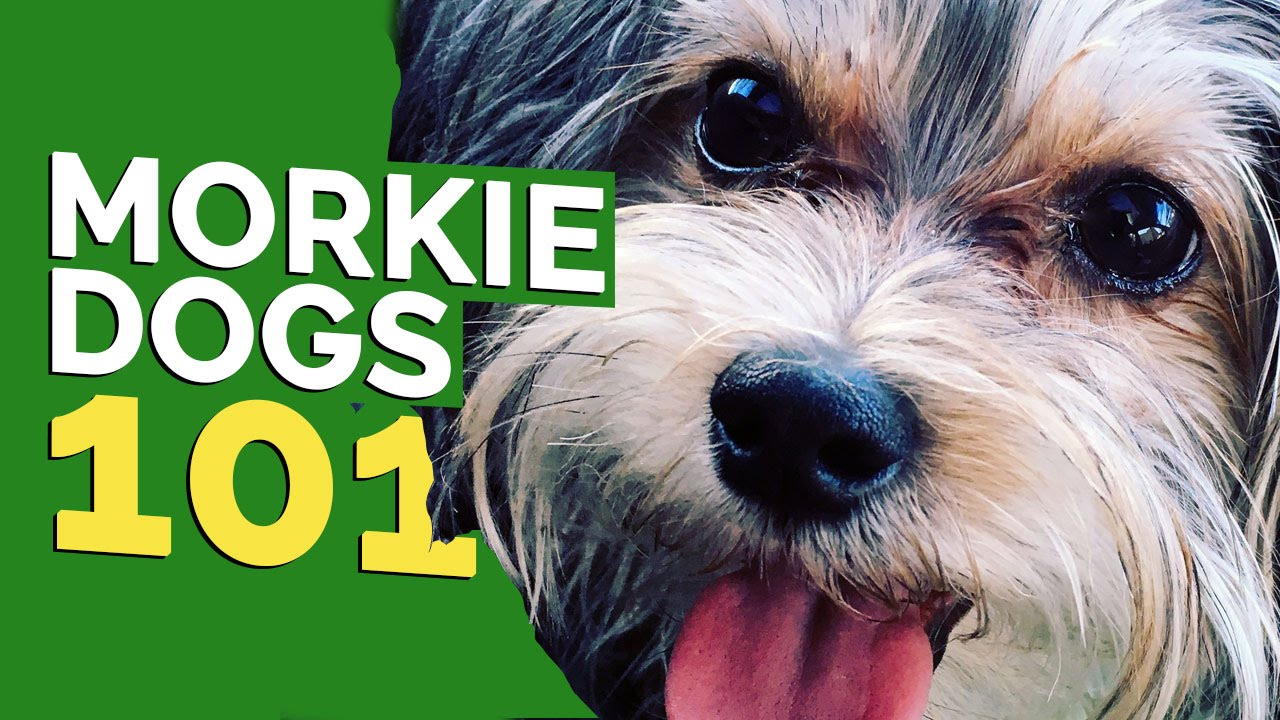 morkie dogs 101 youtube