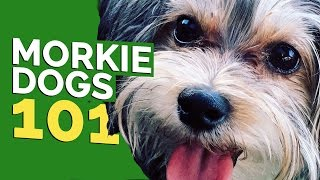 Morkie Dogs 101