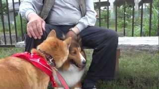 """散歩中にシェットランドシープドッグに出会いがあります """"北のまめ柴 も..."""