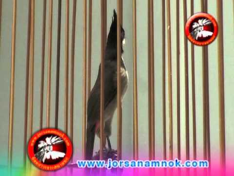 นกอังกอร์ เสือร้ายจากป่าละอู**