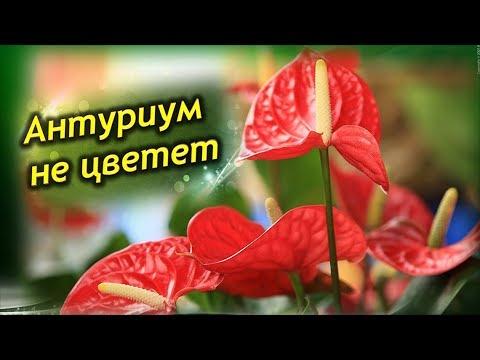 АНТУРИУМ НЕ ЦВЕТЕТ. Болезни Антуриума. Как вылечить цветок.