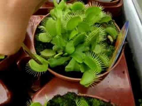 Jugando con plantas carn voras youtube - Plantas para estanques de jardin ...