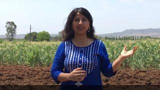 Zunka, Bhakri and Thecha Recipe - Cooking in my Village Farm   चूल्हे पर बनाएं झुनका-भाकरी और ठेचा